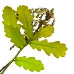 Bachbloesem Oak om het kalmer aan te doen