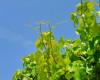 Bachbloesem Vine