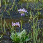 Water Violet