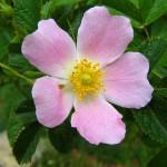 Een verhaal over bachbloesems Wild Rose