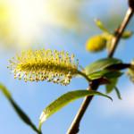 Bachbloesem Willow, als verbittering hoogtij viert