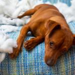 Bachbloesems bij honden