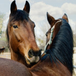 Bachbloesems bij paarden